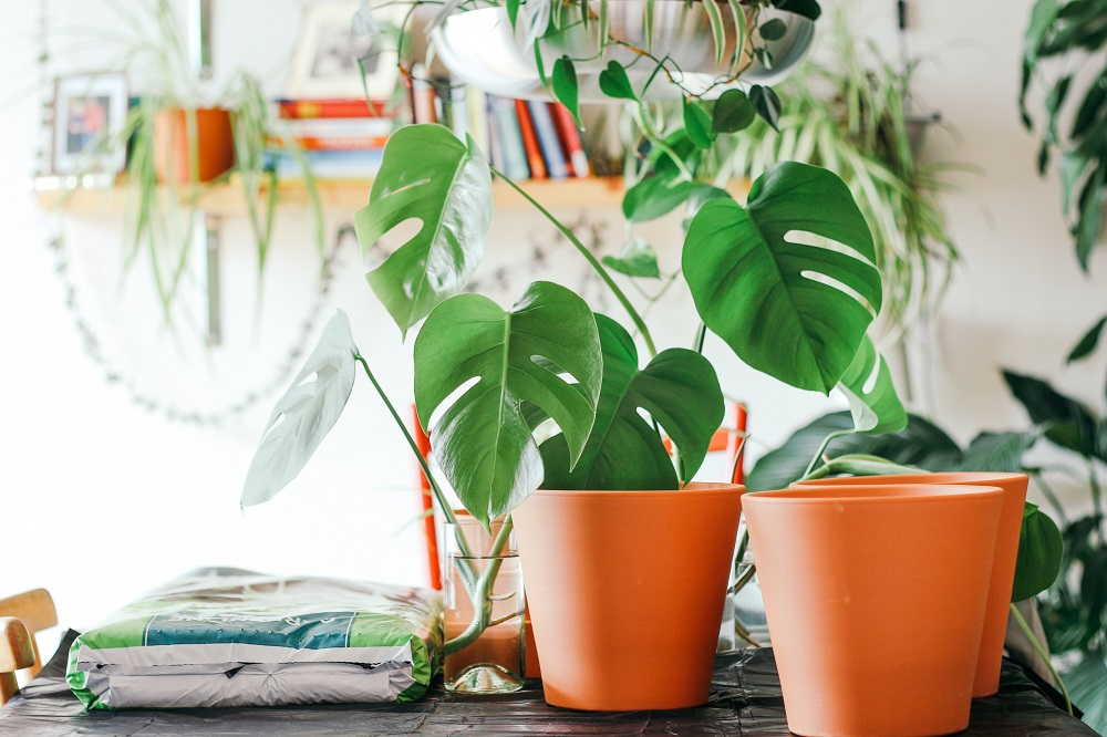 Potted split leaf philodendrons and hanging plants